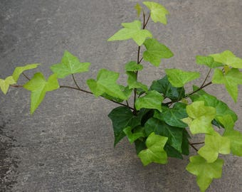 """Ivy Algerian Live Plants Groundcover Plants Perennual Plants From 2"""" Plug"""