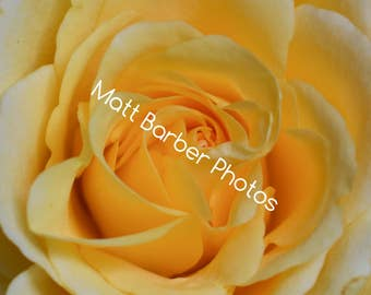 Yellow Rose Photo Print