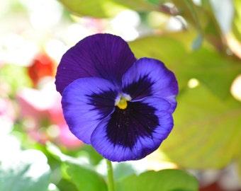 Beautiful Blue Pansy Digital Download #500
