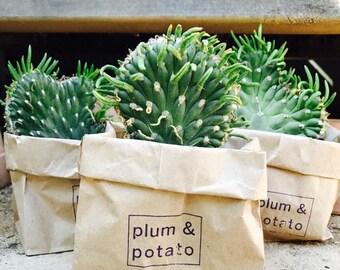 "small ""bill murray"" cactus in a peat pot"