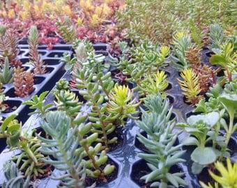 25 Small Hardy Succulent plugmix.Rockery,alpine garden,planters,sedums