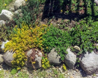 Sedum Stonecrop Hardy Succulent Package 20 Cuttings 4 Varieties