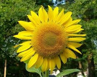 Sunflower Seeds - approx 150 seeds in one ounce - fast growing Mammoth Giant sunflowers grow around 6 feet tall and up to 1 foot flower span