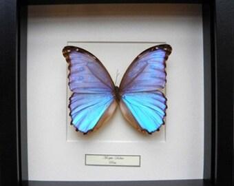 Morpho Didius in frame 25-25 cm