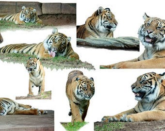 Tiger Overlay , PSD Tiger, Photography Overlay, Digital Photo, Photo Manipulation, Stock Images, Background Overlay Photos