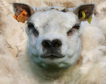 Beltex ram and wool, Sheep picture photographic art canvas print