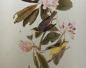 "Vintage Audubon Print, ""Canada Warbler"""