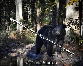 Black Bear, Cades Cove, Great Smoky Mountains - digital download