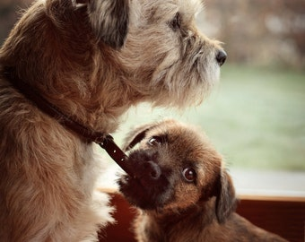 "Fine art print - Border Terriers - ""Patience"""