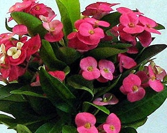 """Pink Crown of Thorns Plant - Euphorbia - 6"""" Pot"""