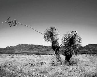 Portrait of a Yucca by ALXSw. High resolution print on vinyl.