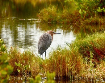 Reddish Egret in Fall
