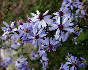 Photography Print - Blue Asters 2013