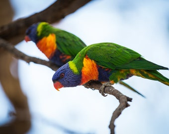 Curious Lorikeet - Wildlife Photography - Artistic Home Decor Photo Print - Colorful Exotic Birds