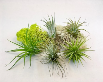 Small Tillandsia Air Plant