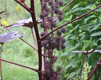 Purple Castor Bean (Ricinus communis)- 10ct
