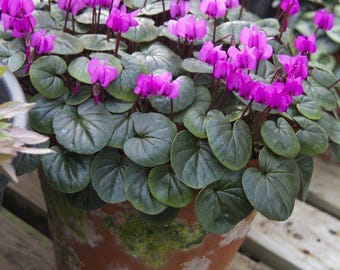 Hardy Cyclamen Coum - Pack of THREE Plants