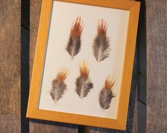 Golden pheasant feathers under framework / unique / the pen box
