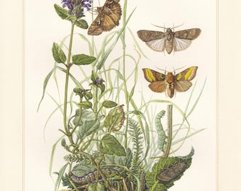 Vintage lithograph of burnished brass, turnip moth, silver y, owlet moths from 1956