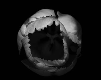 the tulip, transformed into black and white