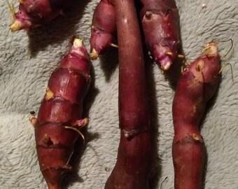 Sunchoke - Variety Pink Crispy - Helianthus tuberosa - Sunroot - Jerusalem Artichoke Tubers for Planting or Eating