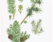Gymnosperm. Juniper.Cypress Original Botanical Print.fern.RARE.Vintage.Antique.Genuine.1929.French.Art.Mom.Dad.Plant.pretty picture.eco.boho