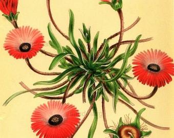 Paxton's British Wildflower Print Mesembryanthemum Tricolor Botanical Flower Bouquet Home Decor Illustration