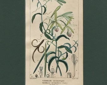 Antique Botanical Print of the Vanilla Orchid - Matted - Ready to Frame 8 x 10 - Vanilla aromatica - 1829 Rare Hand-coloured Print