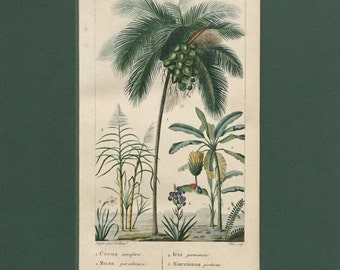 Antique Botanical Print - Matted - Coconut - Plantain - Sugar Cane - Ready to Frame 8 x 10 - 1829 Rare Hand-coloured Print