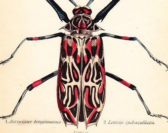 Antique Vintage Beetle Print . Acrocinus longimanus . plate 25 . original coleoptera engraving art dated 1835 vol II