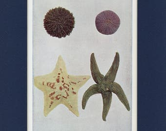 Natural History 1911 Antique Print of Sea Urchins and Star Fish