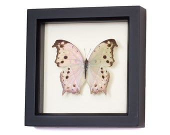 Real Framed Butterflies Mother of Pearl Butterfly