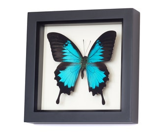 Real Framed Butterfly Blue Mountain Swallowtail Display