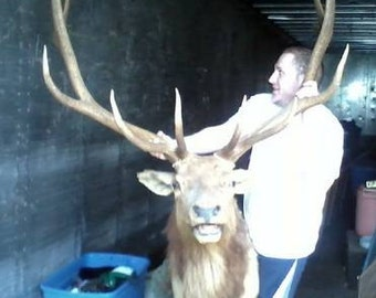 1972 Huge 12 Point Bull Elk Taxidermy-Free Shipping