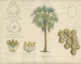 Palm Tree, Antique Botanical Print, 1874, Plate 88, Natural History, Vegetable Kingdom, Hand Colored, Black White