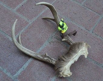 Vintage Whitetail Deer Antlers and Skull Plate