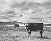 Desert Cattle | Black and White Cow Photography | Arizona Art