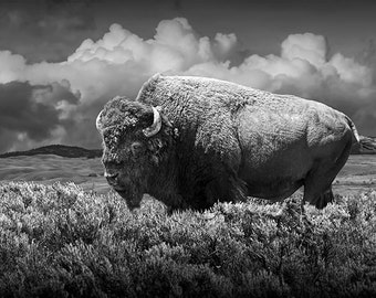 American Buffalo Bison in Yellowstone National Park in Wyoming A Fine Art Black and White or Sepia Tone Wildlife Photograph