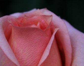 Pink Rose Fine Art Photo