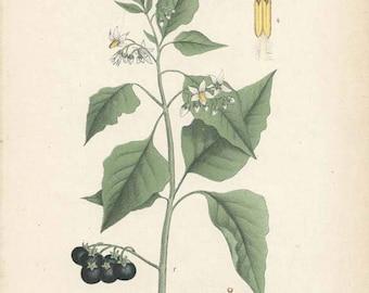 BLACK NIGHTSHADE 1906 Botanical Book Plate 108 Herb Medicinal Plant Homeopathy