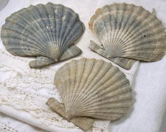 3 large whole fossil Chesapecten scallop shells (no.8)