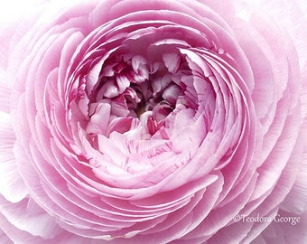 Pink Ranunculus Fine Art Photo Print, Flower Photogrpahy, Garden Photography, Macro Photo, Ranunculus Photo, Pink Flower Photo