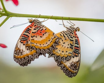 "Nature Photography, ""Cute Couple"", Butterflies, Spring, Customizable Sizes Available Upon Request"