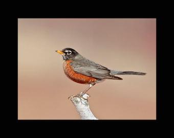 American robin on birch