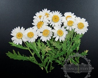 1 small packs white chrysanthemum real dry pressed flower green leaf craft for DIY glass dome resin filling 1503100