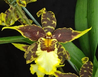 Brassidium Pacific Paradox orchid large seedling 3.5 inch pot FREE SHIPPING