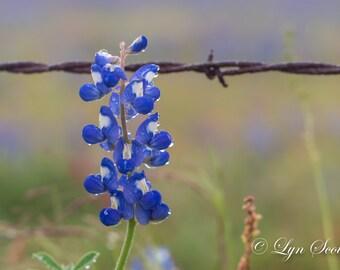 Bluebonnet Closeup, Landscape photography, Texas, Hill Country, Western, flowers, bluebonnets, fine art print