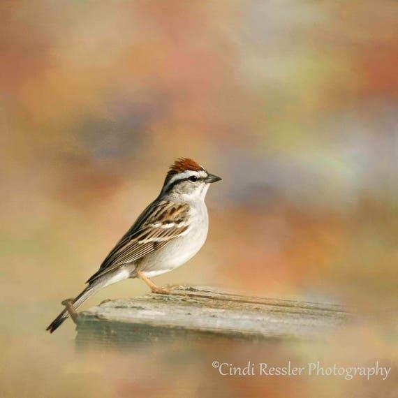 Chipping Sparrow, Birds, Bird, Photography, Photo, Bird Lover Gift, Nature Lover, Fine Art, Garden, Housewarming Gift, Wall Art, Home Decor