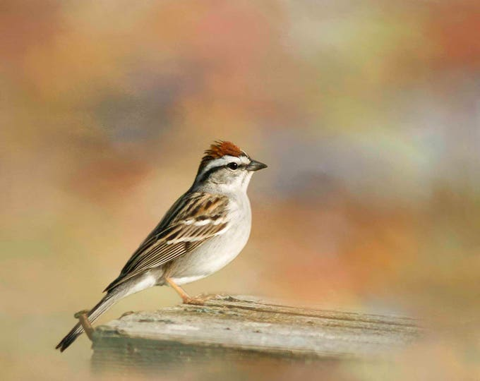 Chipping Sparrow, Songbird, Bird Photography, Birds, Bird Photograph, Garden, Nature, Photography, Fine Art Photography
