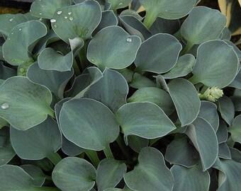 Blue Mouse Ear Hosta, compact, 2 gallon, bare root
